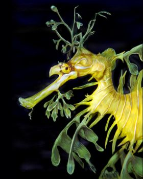 leafy sea dragon: for Shaun by Gypsy-Love