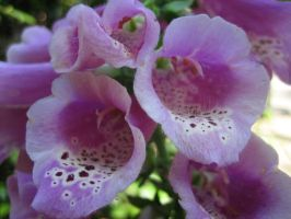 Purple foxglove by darchiel