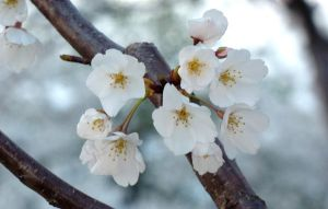 Cherry Blossoms Close up by go4music