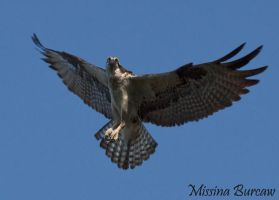 Osprey coming in for a landing by Aries18o18