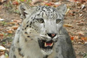 Asian Snow Leopard by DingoDogPhotography