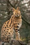 Sitting Serval by Predators-Prey