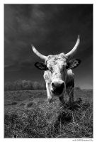 Grey Cattle by miki3d