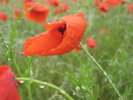Coquelicot -Gros plan- by Jlpicard