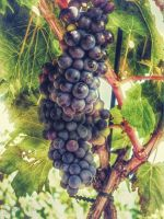 Grapes on the Vine by ShawnaMac