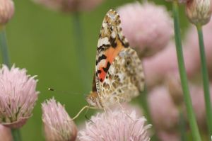 Painted Lady by crimsonpenguin