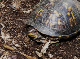 Box Turtle by duggiehoo