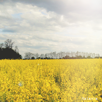 Yellow Fields by flightlessBird91