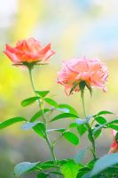 Two roses by Emmatyan
