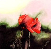 poppies by wholba