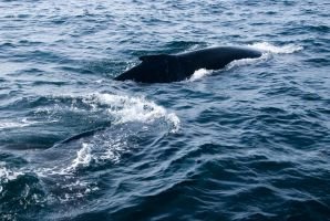 Whales, Two Backs Up Close 2 by Miss-Tbones