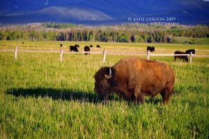 Wyoming Bison by katieg