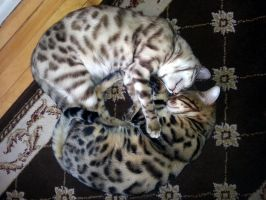 Spock and Leonard , my Bengal cats . by CatherinetteRings