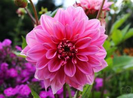 Pure Dahlia by Heart-Luck