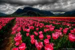 Pinkness by IvanAndreevich