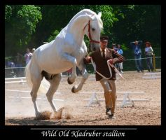 Wild Old Kladruber stallion by sarming