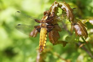 Broad-bodied Chaser by sjonnoh