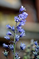 Blue Bell Hyacinth by MicheleHansen