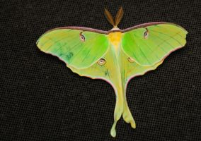 Luna Moth by Enkased