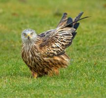 Don't tell me you've never farted lol -red kite by Jamie-MacArthur