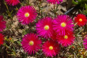 Croceum Ice Plant by PatGoltz
