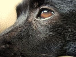 Schipperke Attack... by hanovarianx