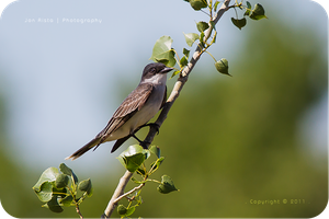 .: Kingbird on a Branch :. by jon-rista