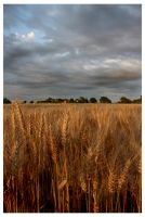 Wheatfield 00 by aaron-thompson