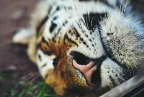 Sleeping tiger by LeaLion