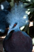 Southern Crowned Pigeon by AWhisperOfLove