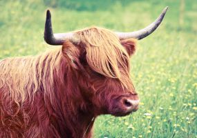 Highland Cattle2 by markotapio