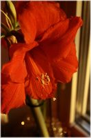 Amaryllis 2 by Golden-Plated