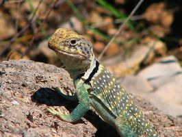 white collared lizard by CorazondeDios