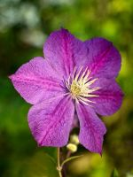Clematis 1 by Swan-Lake