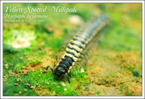 Black yellowspots millipede1 by vonvonz