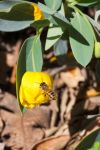 Bee with Pollen by dkbarto