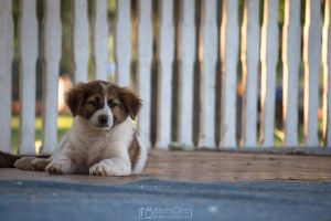 Little puppy lies on terrace floor by aleexdee