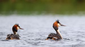 Couple of Great Crested Grebe with baby by RichardConstantinoff