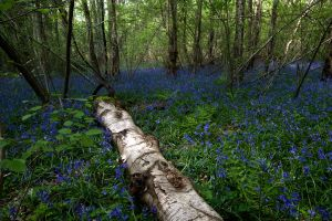 Bluebells3 by LughoftheLongArm