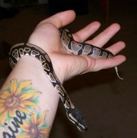 Ball Python by cosmicspider