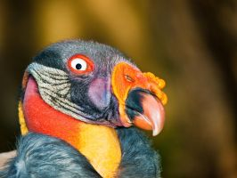 king vulture by tibbet2000