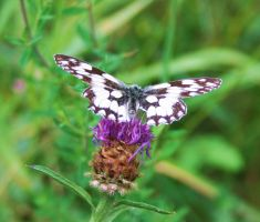 Marbled White Butterfly 1 by Raah-man