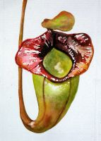 nepenthes jacquelineae by ASD92