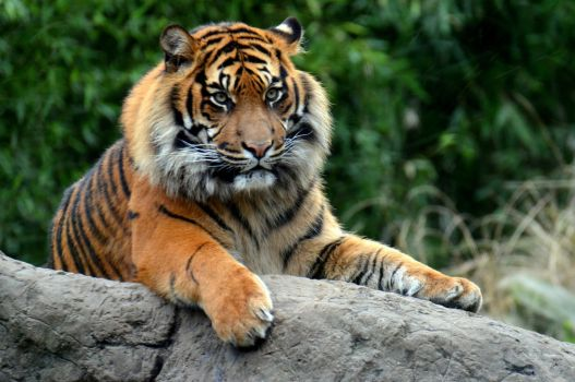 Tiger at the zoo by Lango77