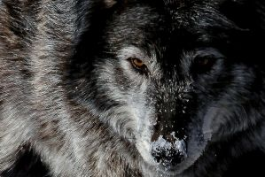 Wolf up close by nigel3