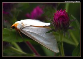 Milkweed Tiger Moth 07-1 by boron