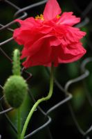 ballerina poppies by cheah77
