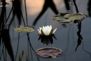 Evening Water Lily by Syagria