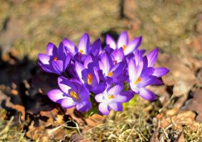 crocus I by LeopoldXXX