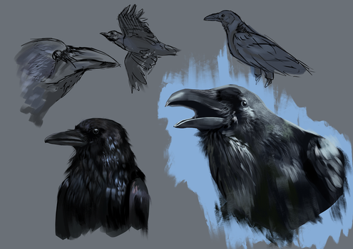 Raven studies by Loonaris